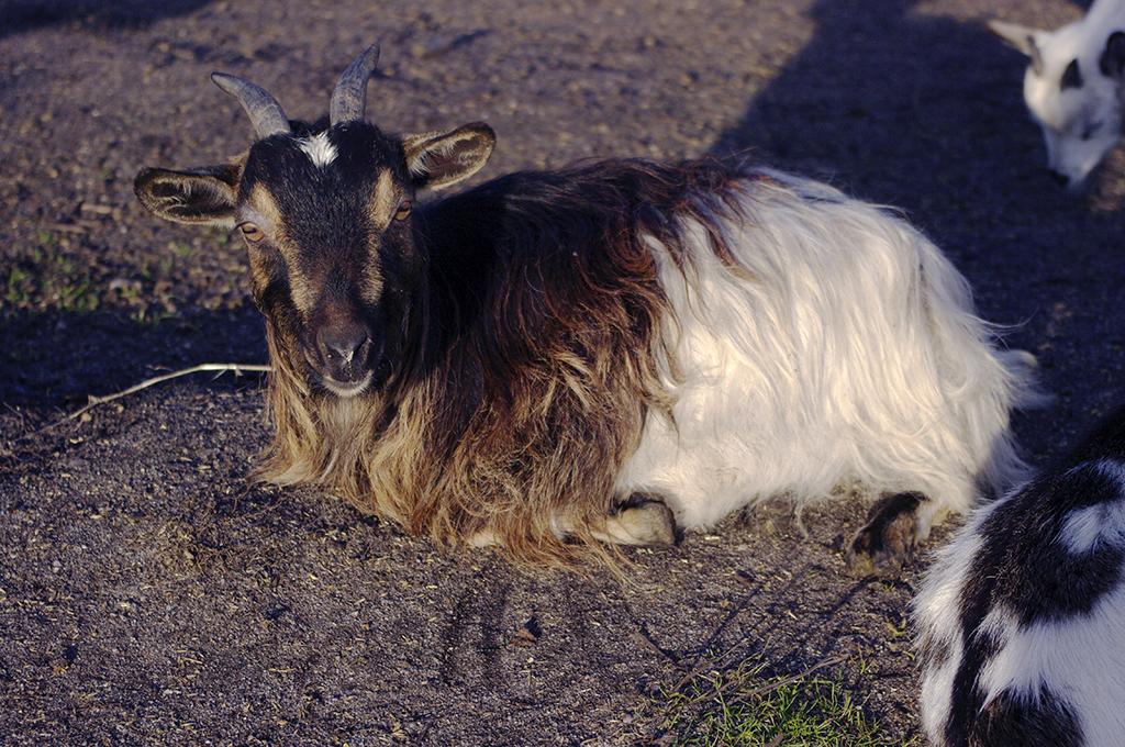 élevage du petit berger, chèvres toys, chèvres miniatures, chèvres toys miniatures